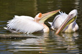 White pelicans on the water — Stock Photo