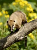 South American Coati on branch — Photo