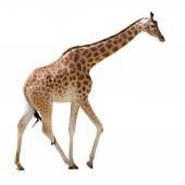 Isolated giraffe walking — Stock Photo