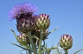 Blooming artichoke — Stock Photo