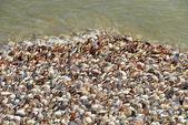 Shells of  Pecten maximus — Stock Photo