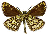 Isolated Large Chequered Skipper butterfly — Stock Photo
