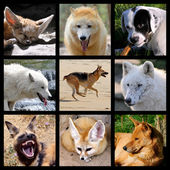 Mosaic photos of Canidae — Stock Photo
