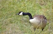 Canada goose in grass — Stock Photo