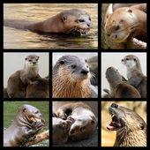 Mosaic photos of otters — Stock Photo
