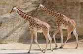 Two giraffes walking — Stock Photo