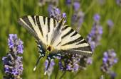 Scarce Swallowtail butterfly on lavender — Stock Photo