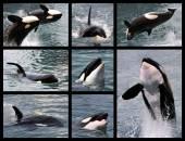 Photos mosaic of killer whales — Stock Photo