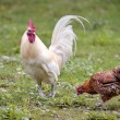 Rooster and hen — Stock Photo #67833745