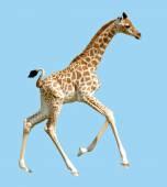 Isolated baby giraffe running — Stock Photo