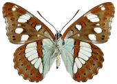 Isolated Southern White Admiral butterfly — Stock Photo