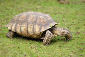African spurred tortoise on grass — Stock Photo