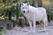 Arctic Wolf in the forest — Stock Photo