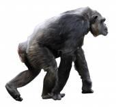 Isolated Chimpanzee walking — Stock Photo