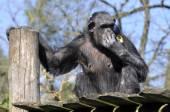 Chimpanzee on plank — Stock Photo