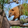 South American Coati in tree — Stock Photo #69719475
