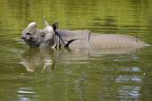 Indian rhinoceros in water — Stock Photo