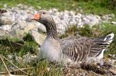 Greylag goose on nest — Stock Photo
