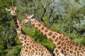 Closeup two giraffes — Stock Photo
