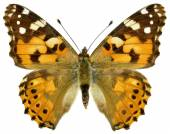 Isolated painted lady butterfly — Stock Photo