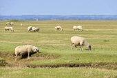 Owce słone łąki — Zdjęcie stockowe