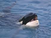 Head of killer whale — Stock Photo