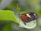 Nymphalidae butterfly on leaf — Stock Photo