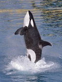Killer whale jumping out of water — Stock Photo
