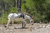 Black and white donkey — Stock Photo
