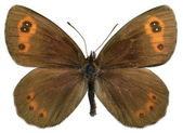 Isolated Scotch Argus butterfly — Stock Photo