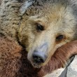 Portrait of Grizzly bear — Stock Photo #78044752