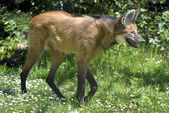 Maned Wolf walking on grass — Stock Photo