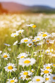 Field of chamomiles flowers in the nature — Stock Photo