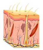 Ilustración de anatomía estructura del pelo humano. vector — Vector de stock
