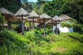 Elephants graze  in Samui jungle Thailand — Stock Photo
