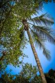 Monkey climbs on a tree to reap crop of cocoes — Stockfoto