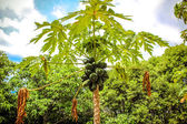 Green papayas of Thailand in Koh Samui — Fotografia Stock