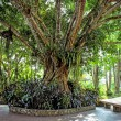 Beautiful tree with twisting roots. — Stock Photo #55350445