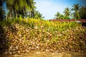 Stack of the coconuts in farm for coconut oil industry — Foto Stock