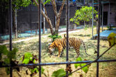 Tiger in a cage at the zoo — Stock Photo