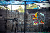 Cockatoo parrots and macaws ride bikes on the distillation in zoo Koh Samui — Stock Photo