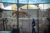 THAILAND KOH SAMUI 8 APRIL 2013 fire show tigers in the zoo on Samui — Stock Photo