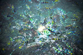 Underwater close up of hungry striped fish eating bread in Andaman sea — Stock Photo