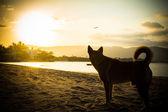 Cane sulla spiaggia guardando il tramonto. — Foto Stock