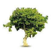 Vector green tree — Stock Vector