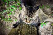 Black tabby maine coon playful cat sharpening its claws on a tree — Stock Photo