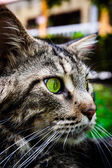 Maine Coon black tabby cat with green eye lying on grass. Macro — Stock Photo