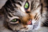 Closeup of Maine Coon black tabby cat with green eyes. Macro — Stock Photo