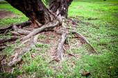 Tree Roots in a jungle Forest — Stock Photo