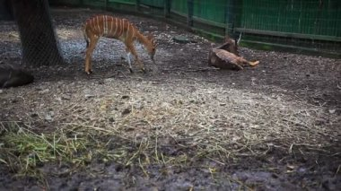 Roe deers in Safari Park. Bangkok — Stock Video